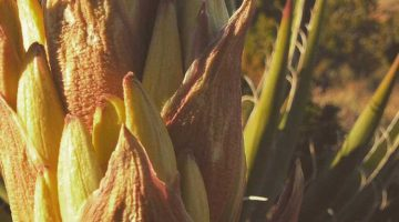 Yucca flower on Horseshoe Mesa