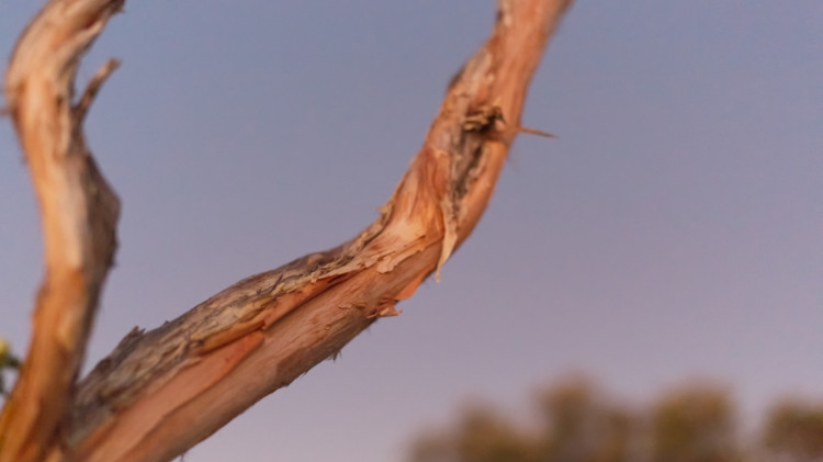 Close-up of a cliffrose branch in front of an early-dawn sky.
